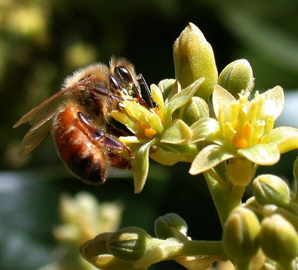 Honeybee_(Apis_mellifera)_pollinating_Avocado_cv